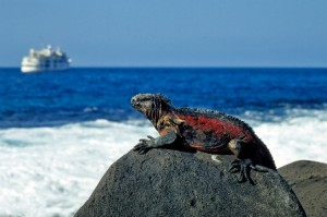 Iguana, yet another species that you can see at close range in the Galapagos