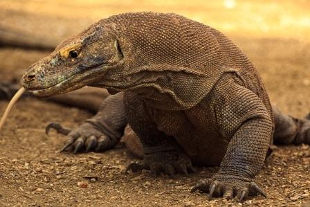 Komodo-Dragon-Indonesia Trans Indus lo res
